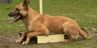 belgian sheepdog virginia belgian malinois the shepherd dog from belgium doggyzoo