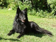 belgian sheepdog youtube groenendael puppy my parents used to breed these dogs dogs