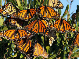 as dwindling monarch butterflies their migration feds try to