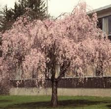 flowering cherry nursery trees