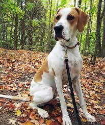bluetick coonhound jack russell mix great dane redtick coonhound mix allmutt com