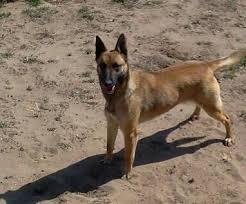 belgian shepherd oklahoma belgian malinois nala and grissom litter announcement april 5