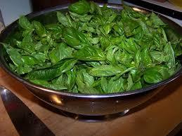 basilico in vaso malattie pianta basilico aromatiche pianta di basilico
