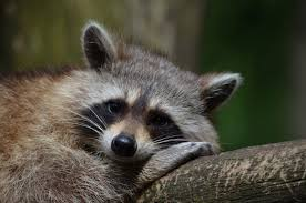 raccoon control how do i get rid of resident charlotte raccoons