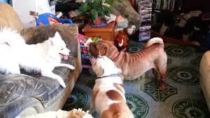 american eskimo dog vs keeshond american eskimo vs sharpei english bulldog 02 youtube