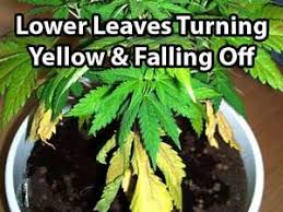 best light to grow pot 38 best growing weed problems symptoms images on pinterest