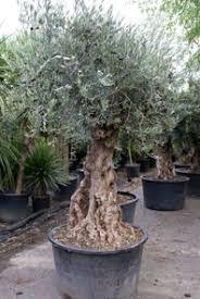 135 best olive tree gardens images on olive tree