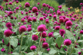 Shade Garden Vegetables by Tough Gomphrena Makes Good Addition To Gardens Mississippi State