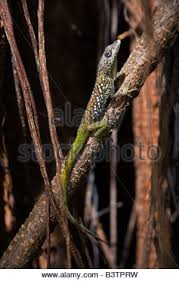 rubber tree stock photos rubber tree stock images alamy