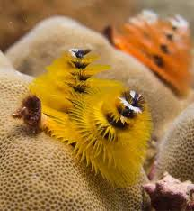exploring the diversity of christmas tree worms in indo pacific