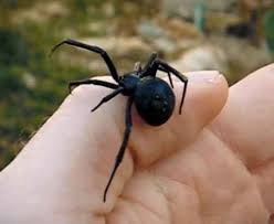 Black Widow Spiders Had A - black widow black widow control pest control information
