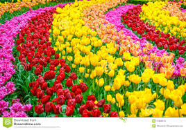 tulip flowers garden in spring background or pattern royalty free