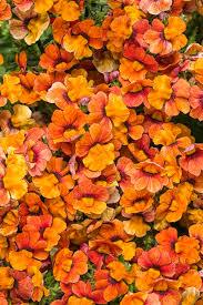 sunsatia blood orange nemesia hybrid proven winners