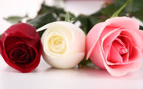 roses colors three different colors of roses wallpapers flowers hd desktop