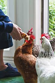 backyard chicken basics sustainable farming mother earth news