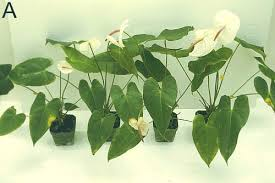 Methods Of Controlling Plant Diseases - bacterial blight of anthuriums hawaii u0027s experience with a global