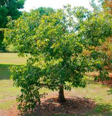 Ornamental Maple Tree 20 Tough Trees For Midwest Lawns Midwest Living