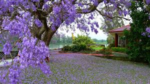Tree With Purple Flowers Tree With Purple Flowers House River Flowers Spring Landscape