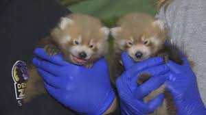 watch denver zoo welcomes adorable baby red pandas kron4 com