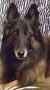 belgian sheepdog wolf mix i want a wolf hybrid but my parents think they don u0027t make good