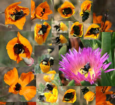 native plants to california it has come to my attention yellow faced bumble bee