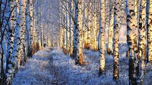 winter snow winter forest nature trees birch wallpaper themes for