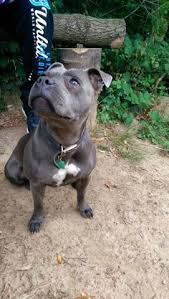american pitbull terrier ireland smile irish blue staffordshire bull terrier dog staffordshire