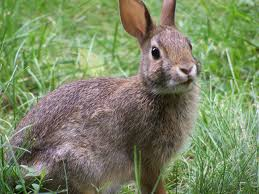 how to keep rabbits out of your garden gardener corner