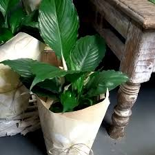 Peace Lily Plant Peace Lily Indoor Plant Little Plants