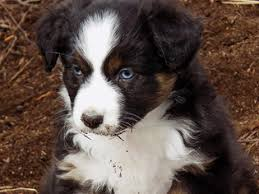 australian shepherd 14 weeks view ad australian shepherd puppy for sale oregon prineville usa