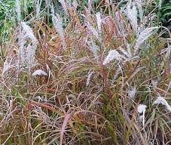 70 best ornamental grasses images on ornamental