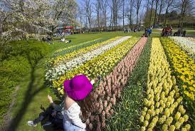 fields of flowers bloom brighten the netherlands pbs newshour
