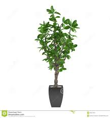 plant tree in the pot royalty free stock image image 36321856