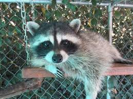 How To Get Rid Of Raccoons In Backyard How To Domesticate This Wild Baby Raccoon That I U0027ve Found And