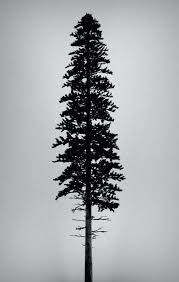 small pine trees interlearn info