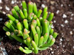 Low Light Succulents by Growing And Caring For Crassula Plants