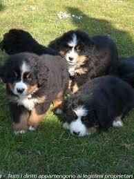 australian shepherd e bovaro del bernese annunci bovaro del bernese cuccioli di razza da allevamenti e