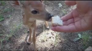 state agency to discuss rare disease impacting texas deer kxan com