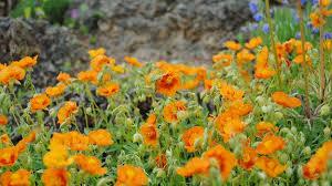 zähe schönheiten pflanzen für den steingarten mdr de