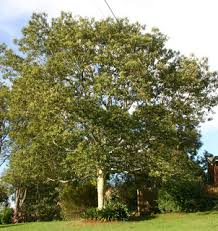 toowoomba plants soap trees