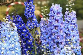 delphinium flower larkspur flower meaning flower meaning