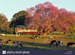 old haleakala dairy ranch house with a jacaranda tree in full