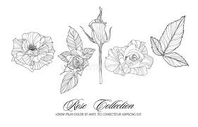 rose sketch collection hand drawn flower set stock vector