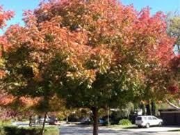 meet the pistache tree