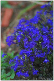 plants with real blue flowers true blue garden flowers gardening