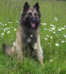 belgian shepherd breeds 219 best belgian tervuren images on pinterest belgian shepherd
