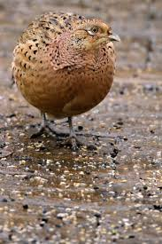 126 best ring necked pheasant images on pinterest ring necked