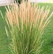 grass plants for sale ornamental grasses