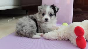 australian shepherd x puppies for sale circle k farms teacup tiny toys toys and miniature australian