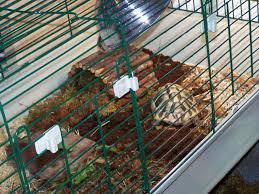Rabbit Hutch Set Up Tortoise Tables U0027indoor Rabitt Cage U0027 Tortoise Forum